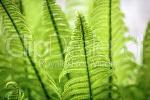 Wild green fern.