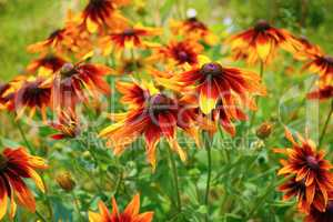 Flowers of Echinacea