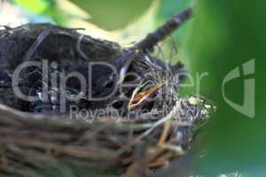 Hatchlings of American Robin Bird