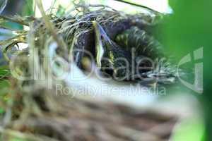 Hatchling of American Robin Bird