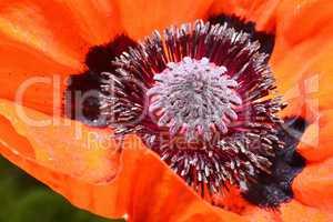 Red poppy flower, stamens and pistils, macro