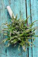 Mint medicinal plant