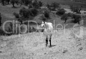 White horse in the olive grove
