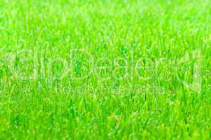 Green grass as texture