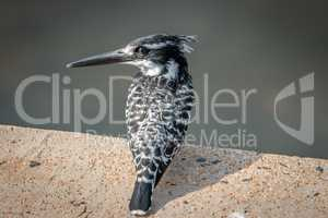 A Pied kingfisher sitting on a brick.