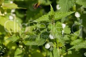 Bumblebee on a nettle flowers.