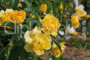 Rose Buttercup - yellow English Rose Buttercup