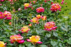Rose Orient Express - the rose Orient Express