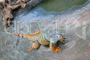 large, arboreal, tropical American lizard with a spiny crest alo