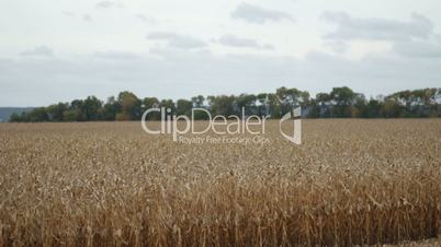 Agricultural cornfield with blue cloudy sky