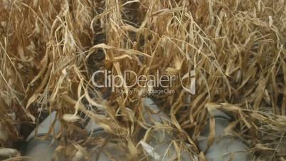 Combine harvester harvesting crop in farmland