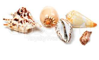 Exotic seashells on white