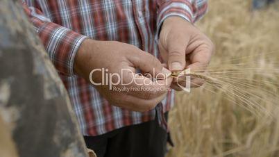 Farmer Man breaks Grain Ear and share it with boy