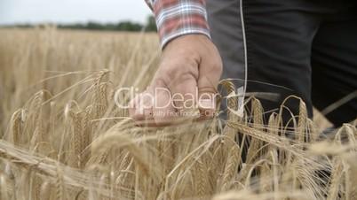 Farmer Man picks up a Grain Ear