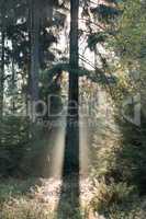 Spruce tree in morning backlight