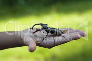 Stag beetle insect in a kid child hand photo (Lucanus cervus)