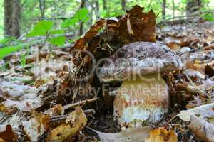 Pine bolete under forest mulch