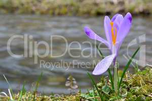 Spring crocus on the bank of the stream