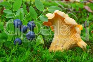 Chanterelle and blueberries in natural habitat