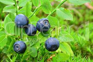 Ripe,  fresh wild blueberries in a moss