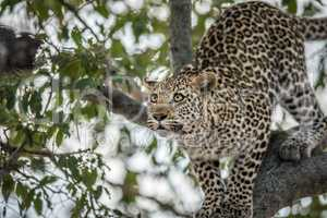A Leopard in a tree in the Kruger.
