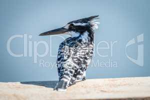 Pied Kingfisher sitting on a bridge in the Kruger.