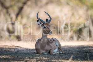 Impala laying down in the Kruger.