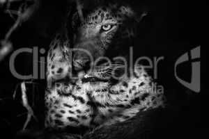 A Leopard in the bushes in black and white.