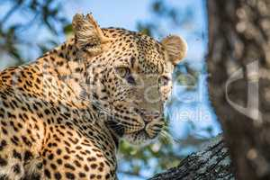 A Leopard looking back in a tree in the Kruger.