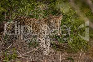 A young Leopard on the look out in the Kruger.