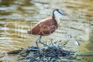 African Jacana on the water in the Kruger.