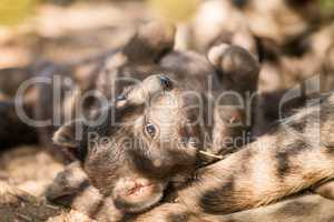 Spotted hyena pup in the Kruger National Park.