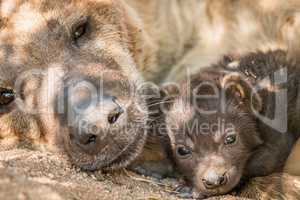 Spotted hyena pup with her mother in the Kruger.