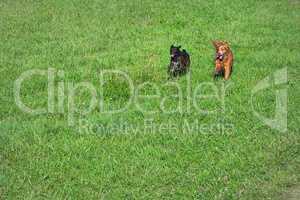 dogs running