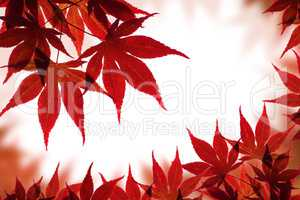 Beautiful red maple border over white