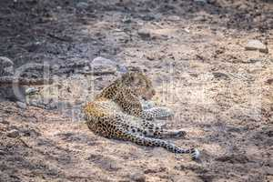Leopard laying down in the sand in the Kruger.