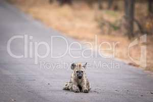 Young Spotted hyena laying in the road in Kruger.