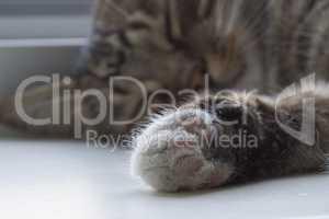 Furry cat paw closeup.