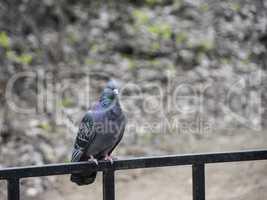 Pigeon bird.