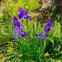 iris flowers on an alpine meadow