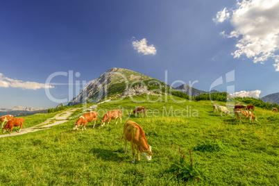 Cattles on Alpine meadow
