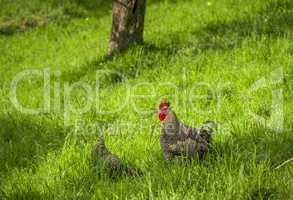 Mottled rooster in green meadow
