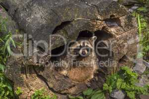Raccoon hiding in a hollow stump