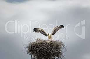 White stork in its nest