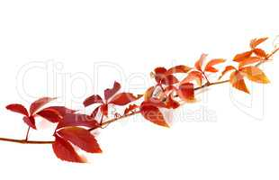 Twig of autumn grapes leaves