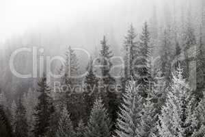 Frozen winter forest in the fog