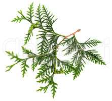 Twig of thuja with green cones