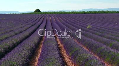 Fields With Lavender In Blossom Rural Landscape In Provence France