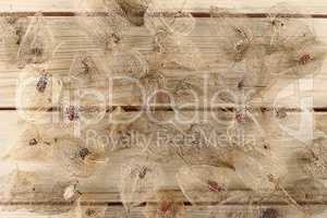 Dried Fruits of the Cape Gooseberry