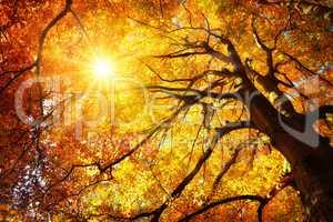 Majestätische Buche im Herbst: der Baum wird von der Sonne warm